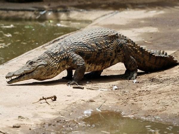 Mơ thấy cá sấu là điềm báo gì, đánh con số nào may mắn?