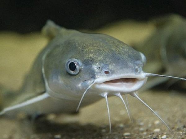Mơ thấy cá trê là điềm báo gì, đánh con số nào may mắn?
