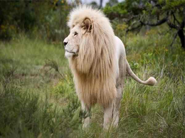 Mơ thấy sư tử đánh con gì trúng lớn và đem lại nhiều may mắn?