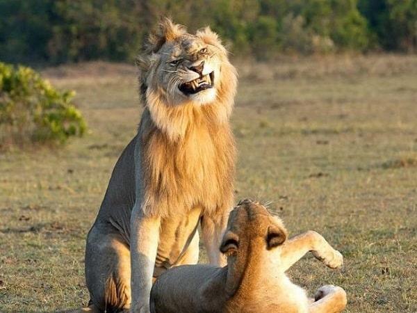 Mơ thấy sư tử là điềm báo lành hay dữ?