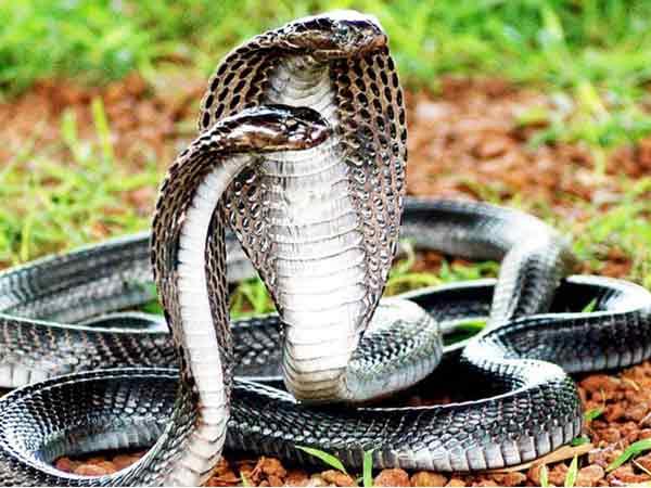 Nằm mơ thấy 3 con rắn có ý nghĩa gì đặc biệt