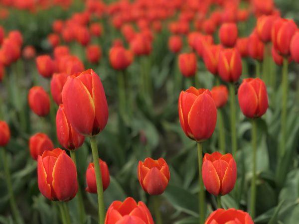 Mơ thấy hoa màu đỏ đánh con gì?